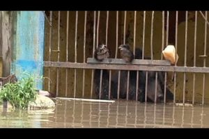 Exhausted animals rescued from flooded zoo in Ussuriysk, Russia