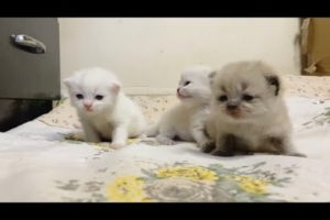 Himlayan kittens | 15 days old new born kittens | cutest kittens meowing natural relaxing sound |cat