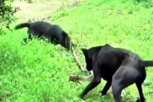 ᴴᴰ African Animals⭐Wild Animals fights to Death⭐Dog vs Cobra Snake-Extremely Fighting 2017