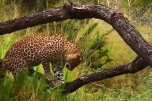 Big Mistake When Python Swallows Baby Leopard, Leopard Attack Python - Rhino vs Lion, Hyena, Buffalo