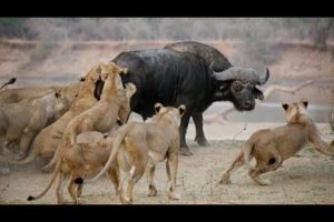 Buffalo vs lion || discovery || wildlife|| Animals Fights || Shorts ||