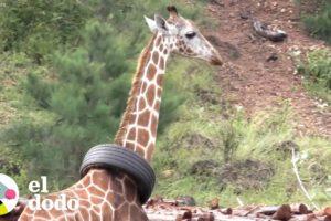 Esta jirafa tiene una llanta atascada en su cuello | El Dodo