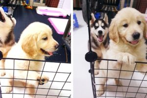 Husky Puppies Vs Golden Retriever Puppies   Husky Meets New Retriever Puppy! Cutest Puppies TV