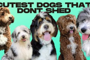 Hypoallergenic Dogs - 10 Cutest Dogs That Dont Shed