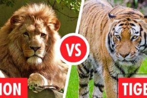 Lion Vs Tiger Fight  Animal fights 2021