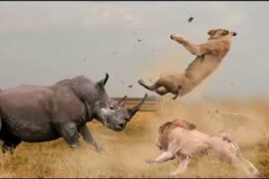 Lion vs Zebra, Rhino,Giraffe; Wild Dog vs Wild Buffalo; Cheetahs vs Antelope || Wild Animals 2021