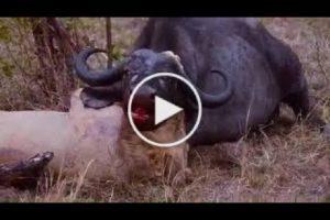 Most Amazing Wild Animal Attacks Lion vs Buffalo   Big Battle Animals Fight   When Prey Fights Back