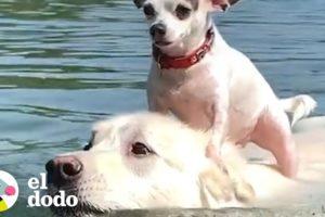 Perro pequeño le encanta andar sobre su mejor amigo | El Dodo