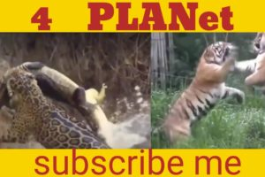 animal fights to the death in the wild,