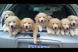 Funniest & Cutest Golden Retriever Puppies - 30 Minutes of Funny Puppy Videos 2021