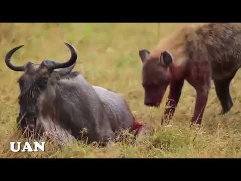 Amazing Wild Animal Attacks Craziest Animal Fights
