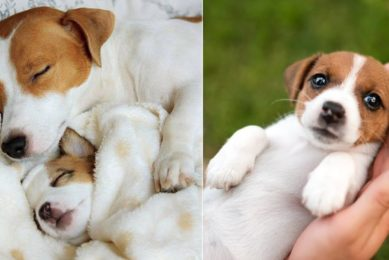 Funniest & Cutest Jack Russell Puppies - Funny Jack Russell Terrier Puppy Videos