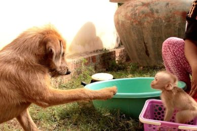 Funny Animals, Baby Jason Adored Lip Smacking When Brother Dog Happy Playing With Him