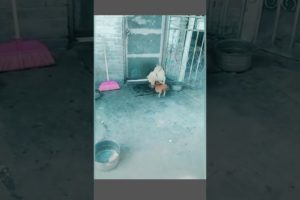 Funny Animals Fights: Dog vs Chicken part2 #Shorts
