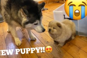 Husky Meets The Cutest Chow Chow Puppies In The World!! [CUTEST REACTION!!!]