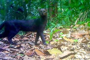 Jungle Animals Trail Cam PickUp || Ocelot and Jaguarundi Cats || Browning Trail Camera