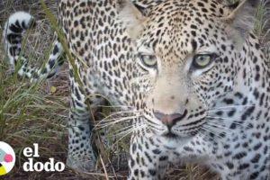 Mujer se encuentra con un leopardo inesperadamente | El Dodo