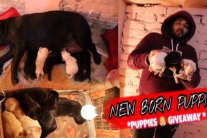 Newborn Puppies | Labrador puppies | Cute Puppies | Cutest Puppies| Labrador |
