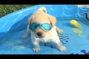 Retrievers Make It Better - Funny Puppy Videos 2018