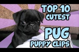 TOP 10 CUTEST PUG PUPPY CLIPS ON YOUTUBE