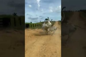 animals fights | 🐆🐪#treanding #shorts