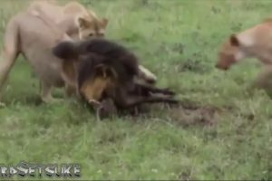 full ANIMAL FIGHT  in 2018
