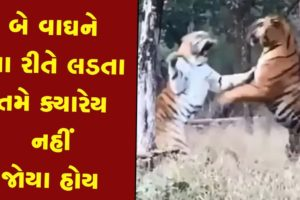 Animal Fight: બે વાઘને આ રીતે લડતા તમે ક્યારેય નહીં જોયા હોય