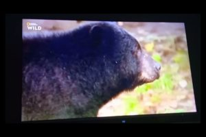 Animal Fight Club: Black Bears Fighting Over Trash