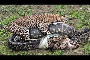 Animal fights caught on Camera in Hindi || Most Incredible Animal Fights caught on camera