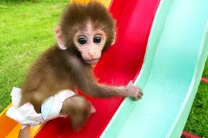 Baby monkey Bon Bon playing with So cute duckling roll down a slide full of koi fish