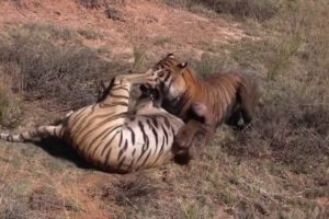 Best Animal Fights Caught On Tape 2017 - Wildlife Animal Attack - Lion vs Hyenas vs Tiger Real Fight