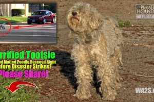 Blue Guardians Rescue Scared, Hungry Lonely & Injured Poodle Hope For Dogs
