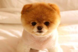 Cutest Puppies Video - Cutest Happy Pomeranians Puppies Having Fun Compilation
