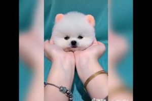 Cutest puppy ever in tiktok #india #cutest #puppy #dog #tiktok #reels #cutestever #tinyone #lovely