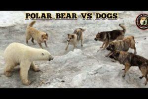 Dogs vs Polar Bear Real Fights (2021)