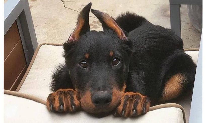 Funniest & Cutest Doberman Pinscher Puppies - Funny Doberman Pinscher Puppy Video Compilation 2021