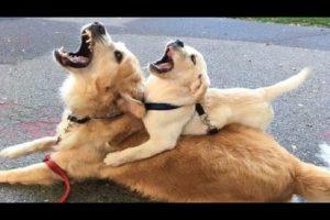 Funniest & Cutest Golden Retriever Puppies #1 - Funny Puppy Videos 2021