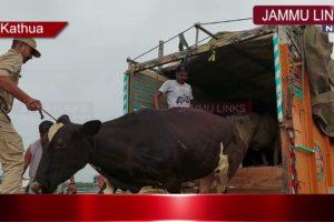 Kathua police foils bovine smuggling bid; rescues 19 animals