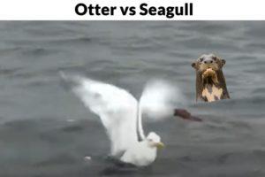 Lontra vs Gaivota (otter vs seagull Fight) animal battle