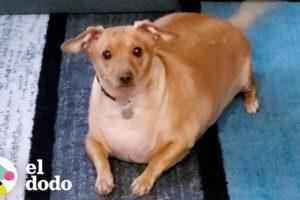 Perrita obesa tiene que perder la mitad de su peso | El Dodo