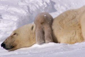 Polar Bear Cubs Taking Their First Steps | Planet Earth | BBC Earth