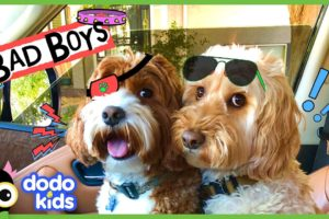 These Two Dogs Are Partners In Crime…Or Are They? | Animal Videos For Kids | Dodo Kids