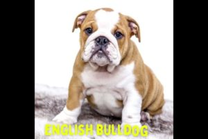 👆Top 10 🐶Dog Breeds That Have 😍Cutest Puppies| #puppies #puppybreeds #cutedogs #shorts