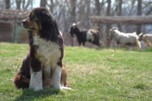 Using Guardian Dogs to Protect Farm Animals