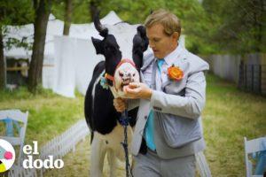 Vaca rescatada ayuda a su mejor amigo cuando le propone matrimonio a su novia | El Dodo