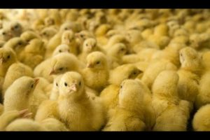 Why VEGAN? ANIMAL Factory Farming + RESCUES (FULL VIDEO CLIPS Many 25 MINUTES)