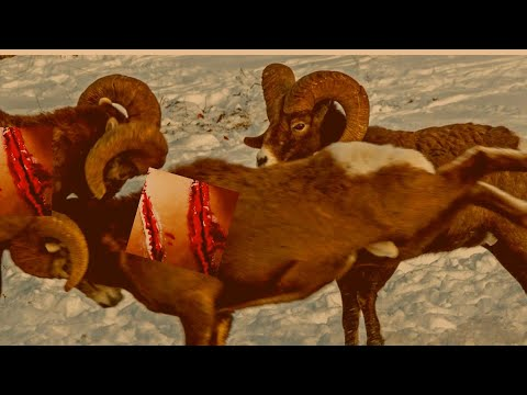 greatest animal fights,wild animals fight, rock ram, bighorn sheep,, bighorn sheep fight,