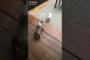 Cutest puppies battle 💕❤#cutepuppy #puppyvideos #crazypuppy #perritos #short #sweetpuppy