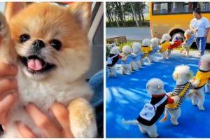 😍Cutest Puppies   Mini Pomeranian   😅Funny and Cute Pomeranian Videos #shorts