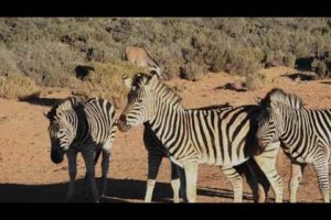 Amazing Wild Animals Attacks - Wild Animal Fights Caught On Camera | Wild Animals 🥏🥏
